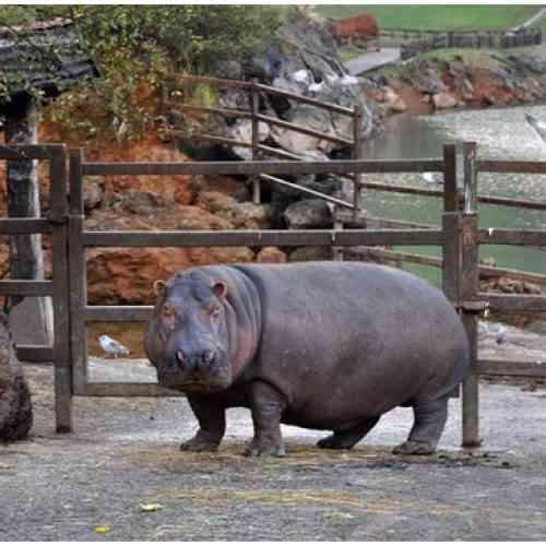 Ventosidad peligrosa: El pedo de un hipopótamo deja tres hospitalizados