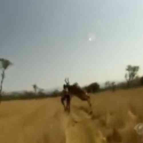Un antílope embiste a un ciclista en plena carrera