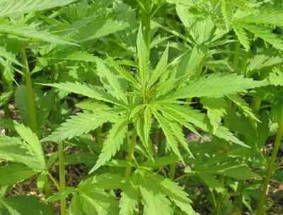 Inventan la marihuana que no coloca