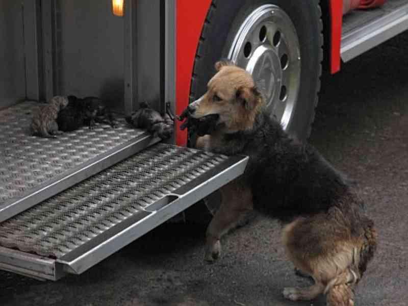 Perra salva de incendio a sus 5 cachorros y los deja en camión de bomberos