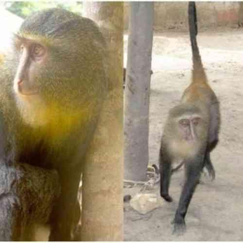 Identifican una nueva especie de monos africanos