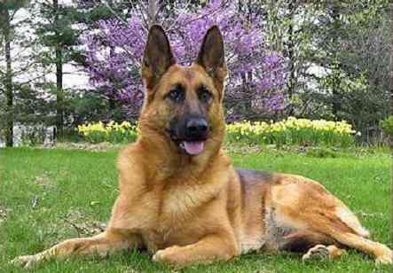 Los perros pueden detectar un cáncer de pulmón oliendo el aliento de las personas