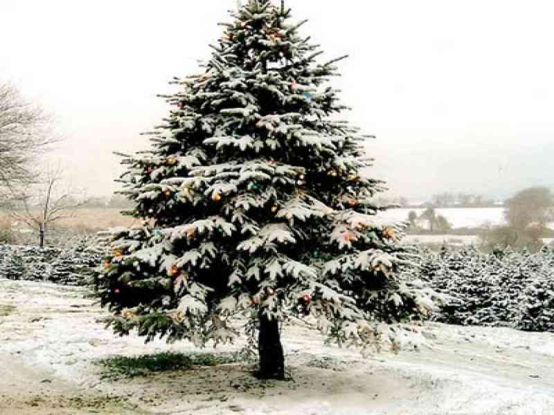El árbol de Navidad natural ayuda a combatir el cambio climático