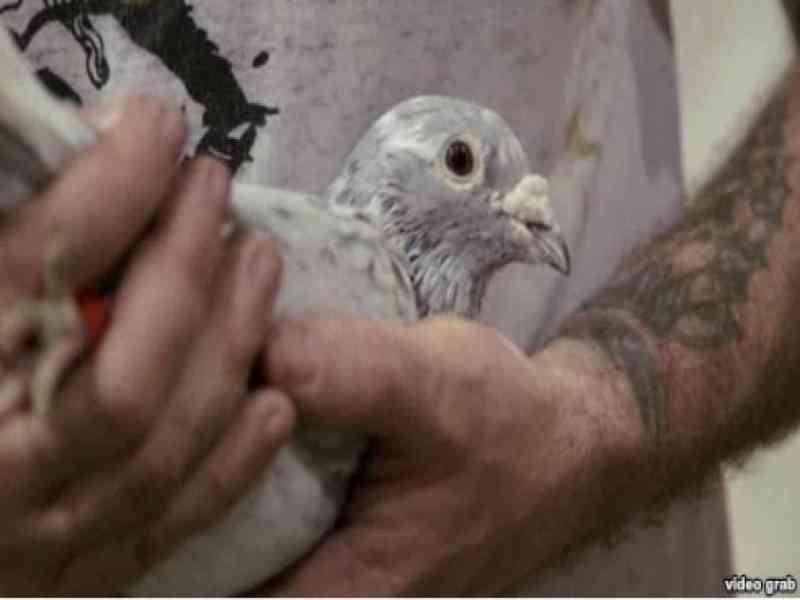 Entrena a 50 palomas para que le traigan tabaco desde Cuba y quiere mandarlas a Colombia a por cocaína