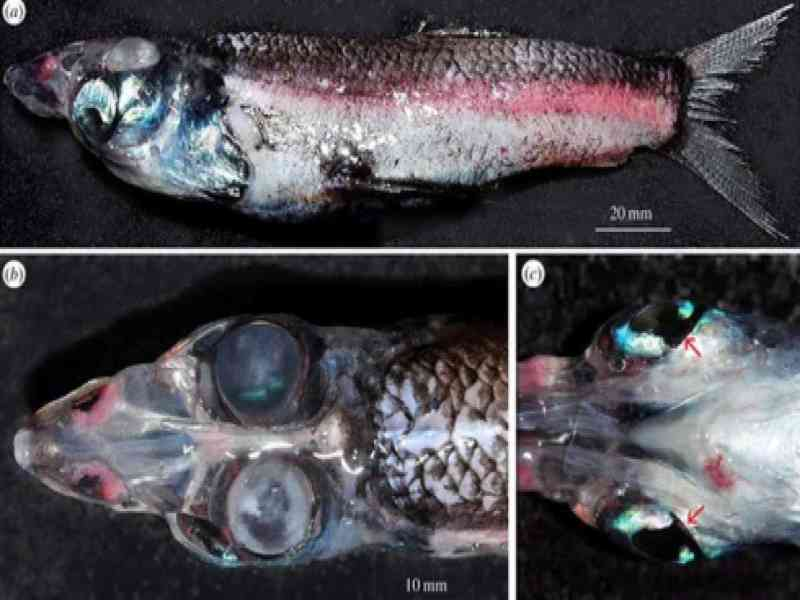 Descubren un nuevo pez de cuatro ojos